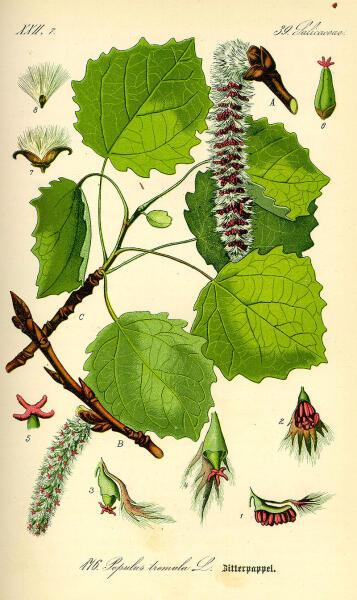 Осина. Ботаническая иллюстрация из книги О. В. Томе Flora von Deutschland, Österreich und der Schweiz, 1885 г.