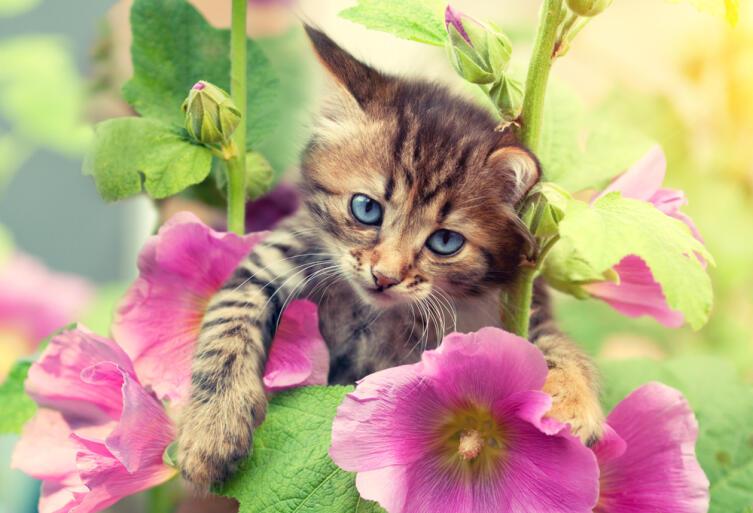 Котёнок среди цветов мальвы
