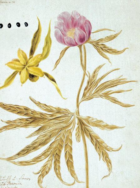 Ботаническая иллюстрация из книги И. Г. Гмелина «Flora Sibirica»