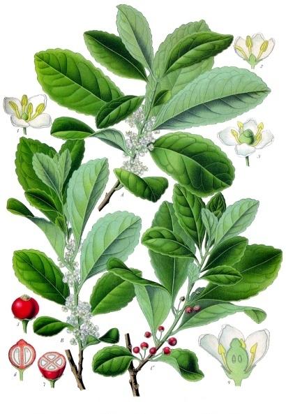 Падуб парагвайский. Ботаническая иллюстрация из книги Köhler's Medizinal-Pflanzen, 1887 г.