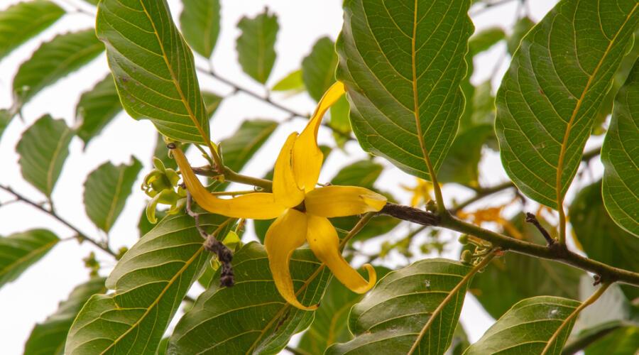 Что за растение иланг-иланг?
