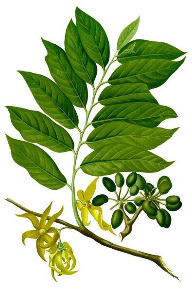 Кананга душистая. Ботаническая иллюстрация