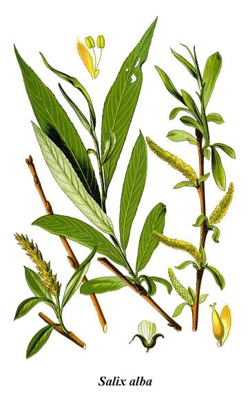 Ива белая. Ботаническая иллюстрация из книги О. В. Томе Flora von Deutschland, Österreich und der Schweiz, 1885 г.