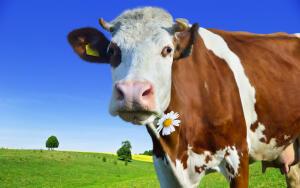 Час Быка-8. Почему корова жуёт жвачку?