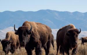 Час Быка-10. Как туров, зубров и бизонов сначала истребляли, а потом восстанавливали?