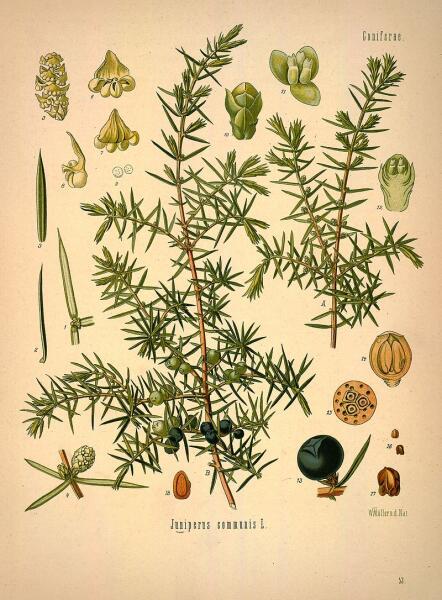 Можжевельник обыкновенный. Ботаническая иллюстрация из книги Köhler's Medizinal-Pflanzen, 1887 г.