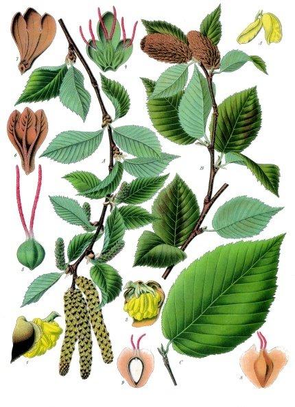 Берёза вишнёвая. Ботаническая иллюстрация из книги Köhler's Medizinal-Pflanzen, 1887 г.