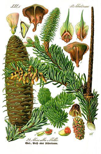 Пихта белая. Ботаническая иллюстрация из книги О. В. Томе Flora von Deutschland, Österreich und der Schweiz, 1885 г.