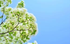 Хионантус: как вырастить снег на дереве?