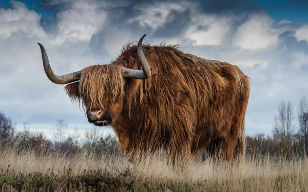 Что вы знаете о быках?