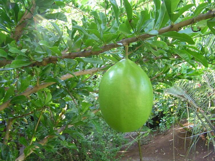 Плод калебасового дерева