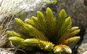 Что за растение баранец?