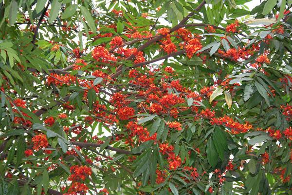 Листья и цветы ашоки в Калькутте, Западная Бенгалия, Индия