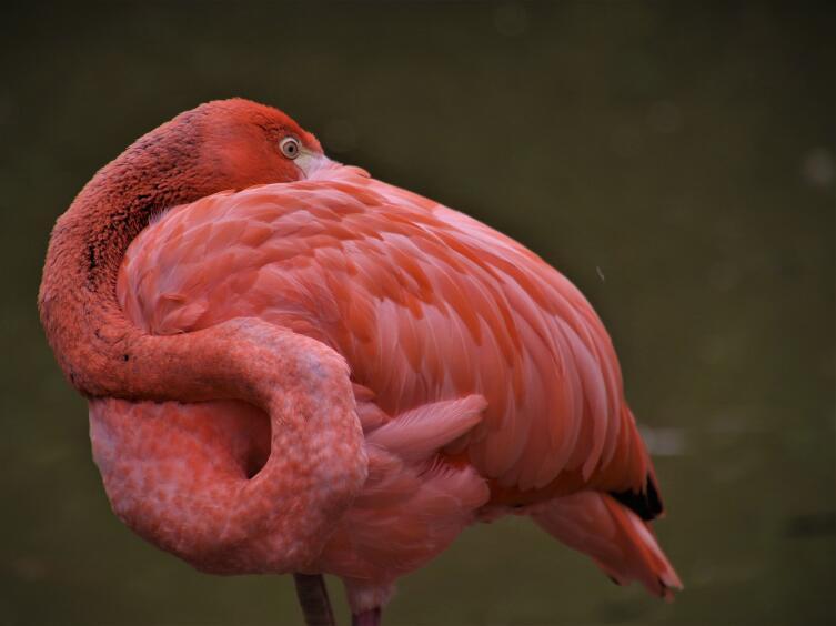 Что мы знаем о фламинго?