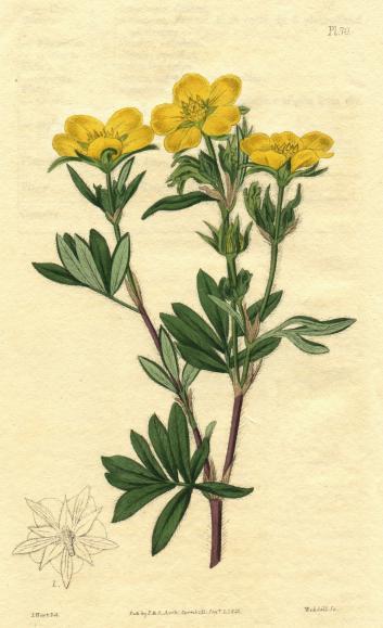 Лапчатка кустарниковая. Ботаническая иллюстрация из книги Dendrologia Britannica, 1825 г.