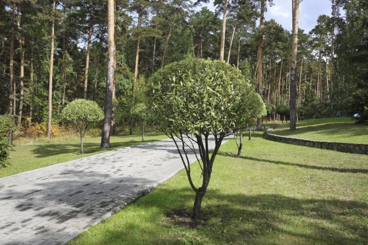 Какое дерево посадить на участке?