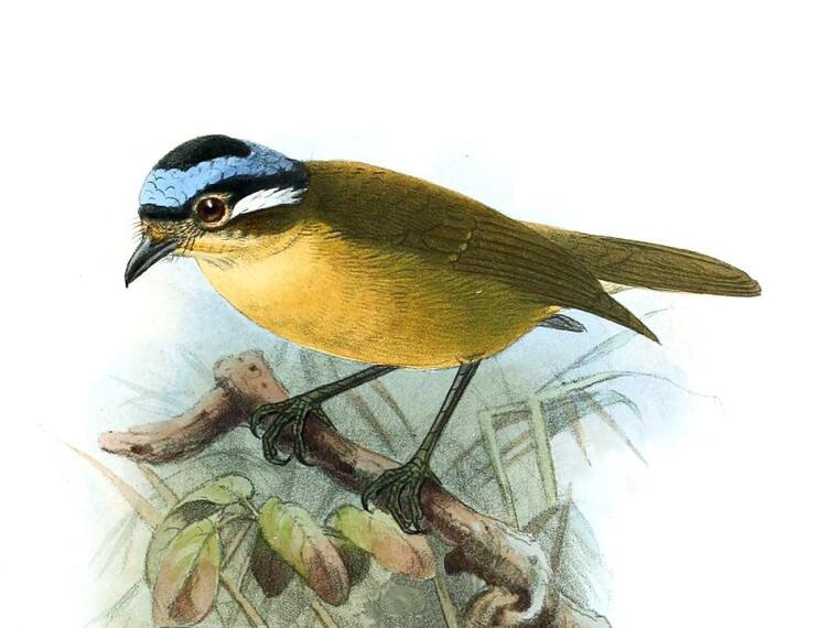 Синеголовая ифрита (Ifrita kowaldi)