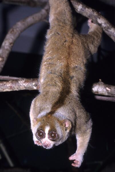 Толстый лори, единственный на Земле ядовитый представитель приматов