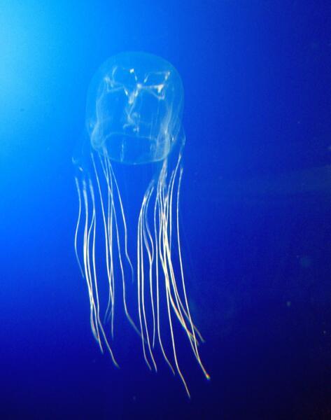 Кубомедуза, самое смертельное животное на Земле