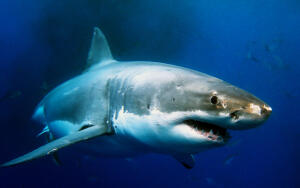 Что мы знаем про акул?
