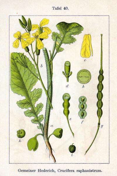 Редька полевая. Ботаническая иллюстрация Якоба Штурма из книги Deutschlands Flora in Abbildungen, 1796 г.