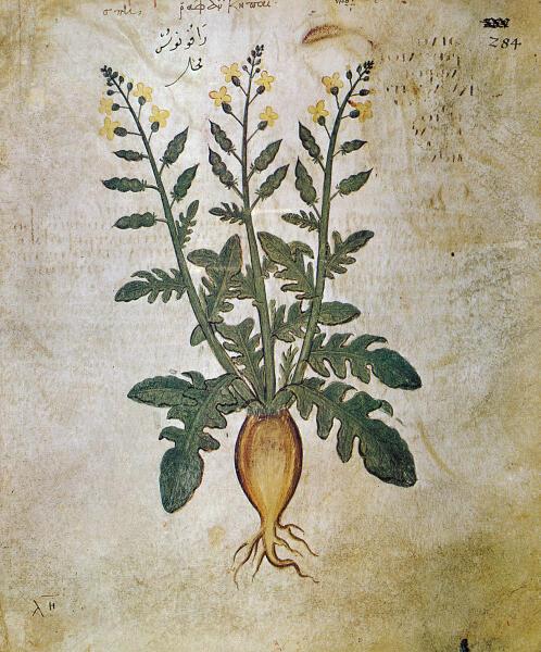 Репа. Венский Диоскорид, Византия, VI век