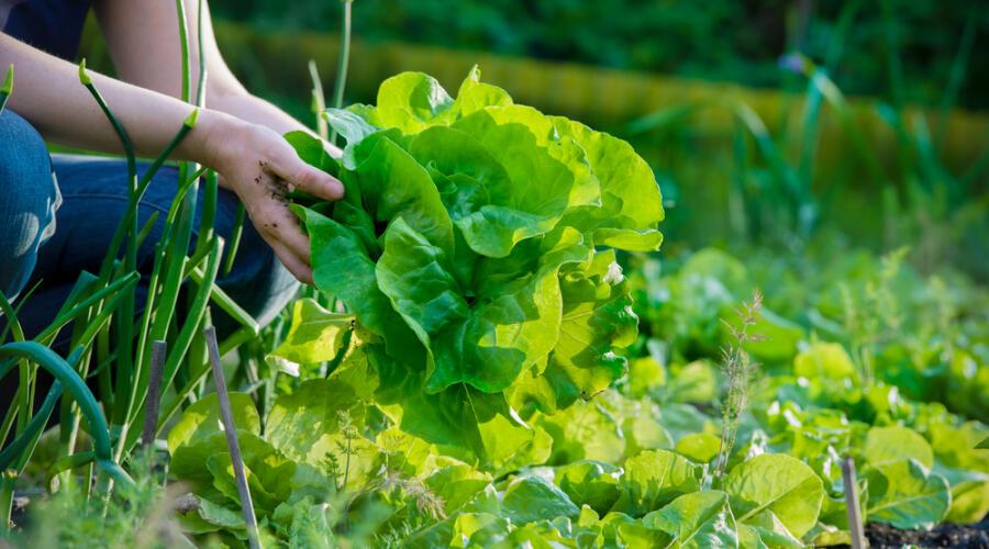 Чем полезен зеленый листовой салат?