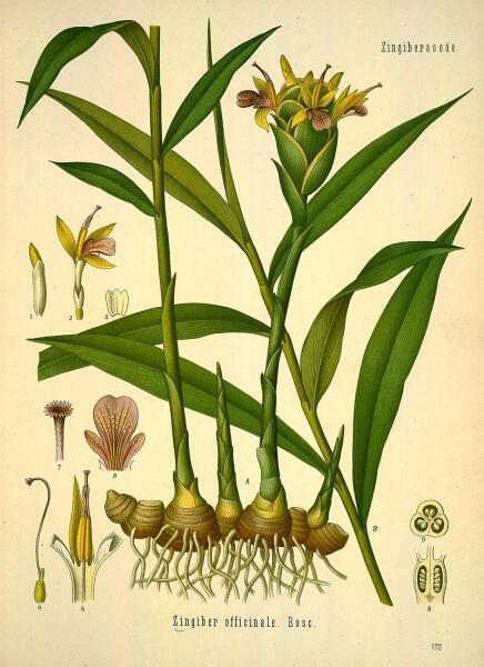 Имбирь. Ботаническая иллюстрация из книги Köhler's Medizinal-Pflanzen, 1887 г.