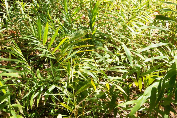 Выращивание имбиря на Занзибаре