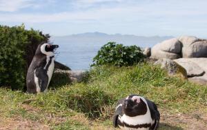 Как живет африканский пингвин?