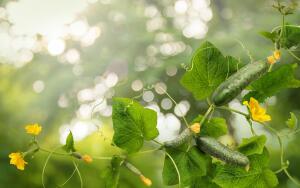 Как подготовиться весной к выращиванию огурцов?