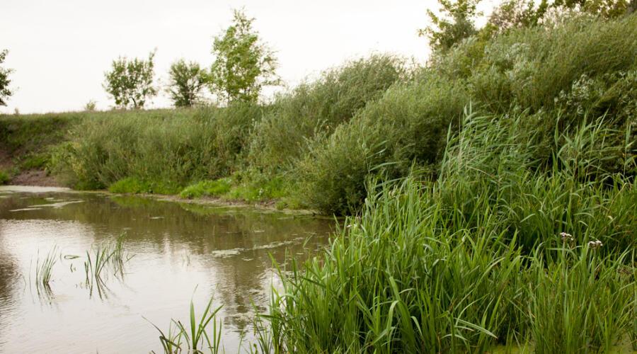 Что за растение аир болотный?