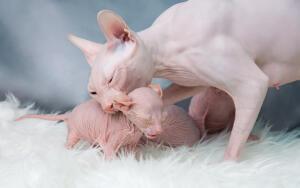 Первые исторические упоминания о голых кошках относятся еще к временам ацтеков.