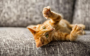 Как научить свою кошку цирковым трюкам?