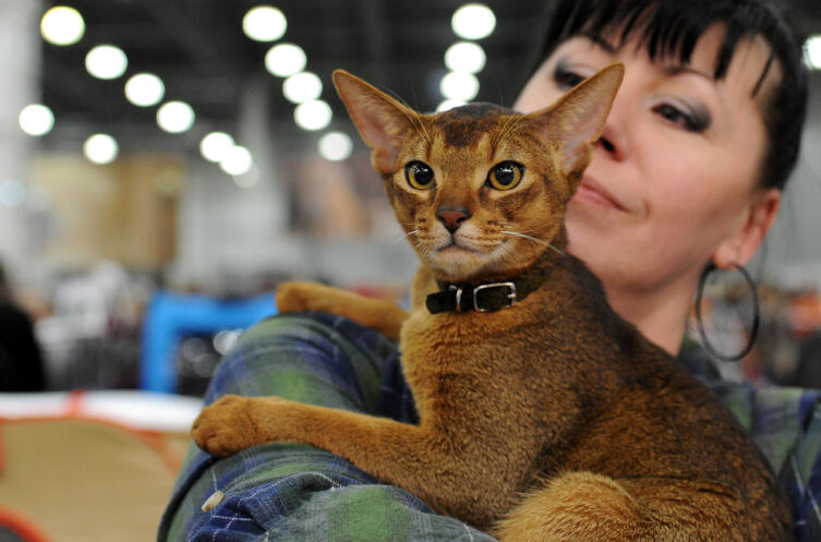 Чем интересна абиссинская порода кошек?