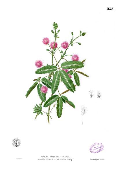 Ботаническая иллюстрация из книги Франсиско Мануэля Бланко Flora de Filipinas, 1880—1883 гг.