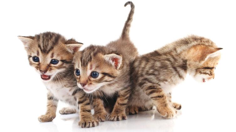 Какой породы выбрать кошку?