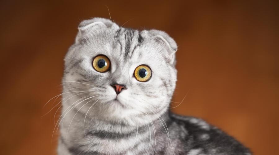 Шотландская вислоухая кошка: как ухаживать?