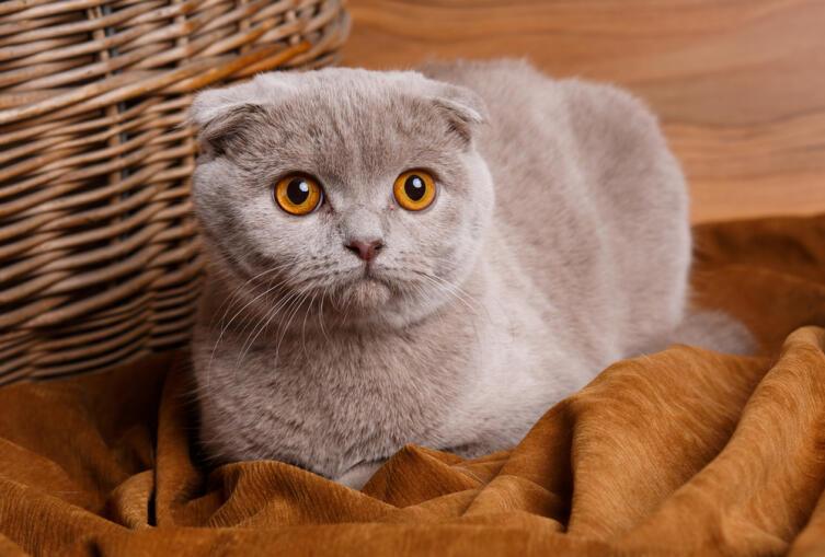 Британская вислоухая кошка: как ухаживать?