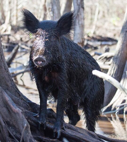 Дикая свинья в мангровом болоте Луизианы