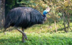 Почему казуар — самая опасная птица в мире?