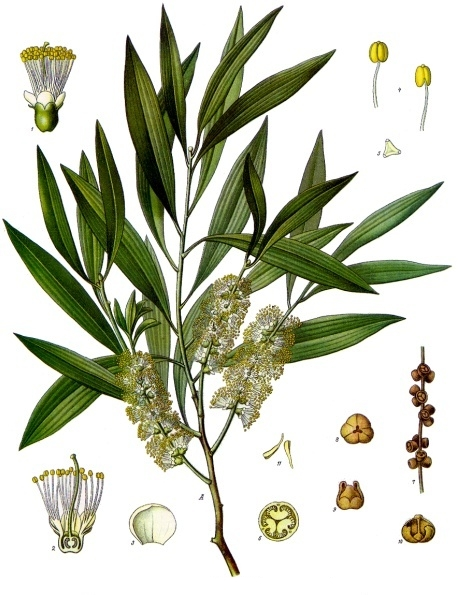 Melaleuca leucadendra, ботаническая иллюстрация