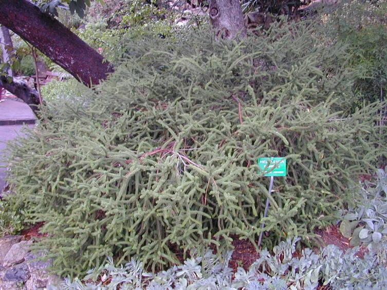Что такое чайное дерево?