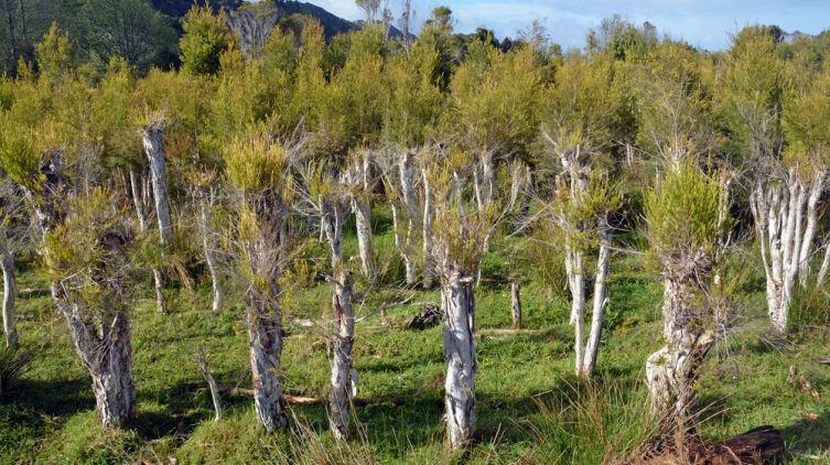 Плантация чайного дерева в Новой Зеландии