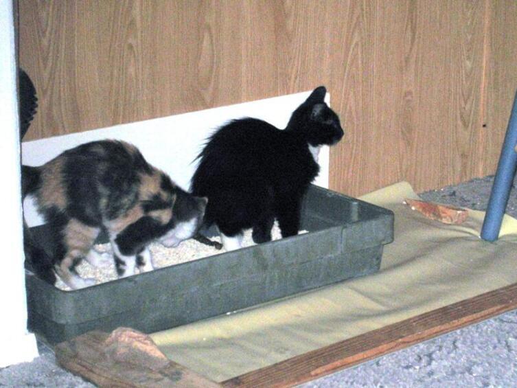 Иногда коты дружно ходят в туалет