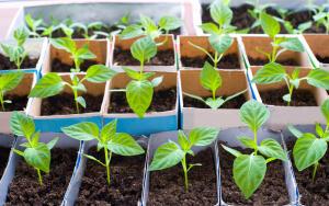 Благодаря этой методике выращивания получается крепкая коренастая рассада с хорошо развитой корневой системой и бутонами.