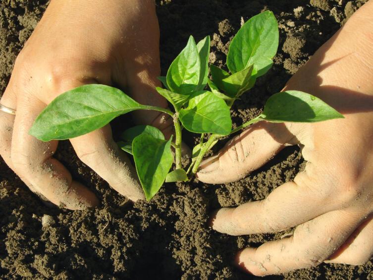 Как вырастить рассаду сладкого перца без пикировки?