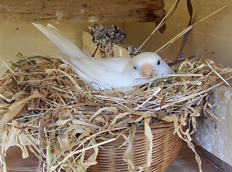 Самка-канарейка высиживает птенцов