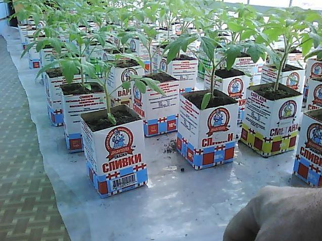 Молодые помидорки на лоджии