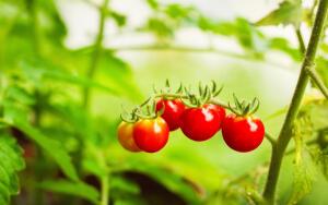 Как вырастить хорошую рассаду помидоров в домашних условиях?